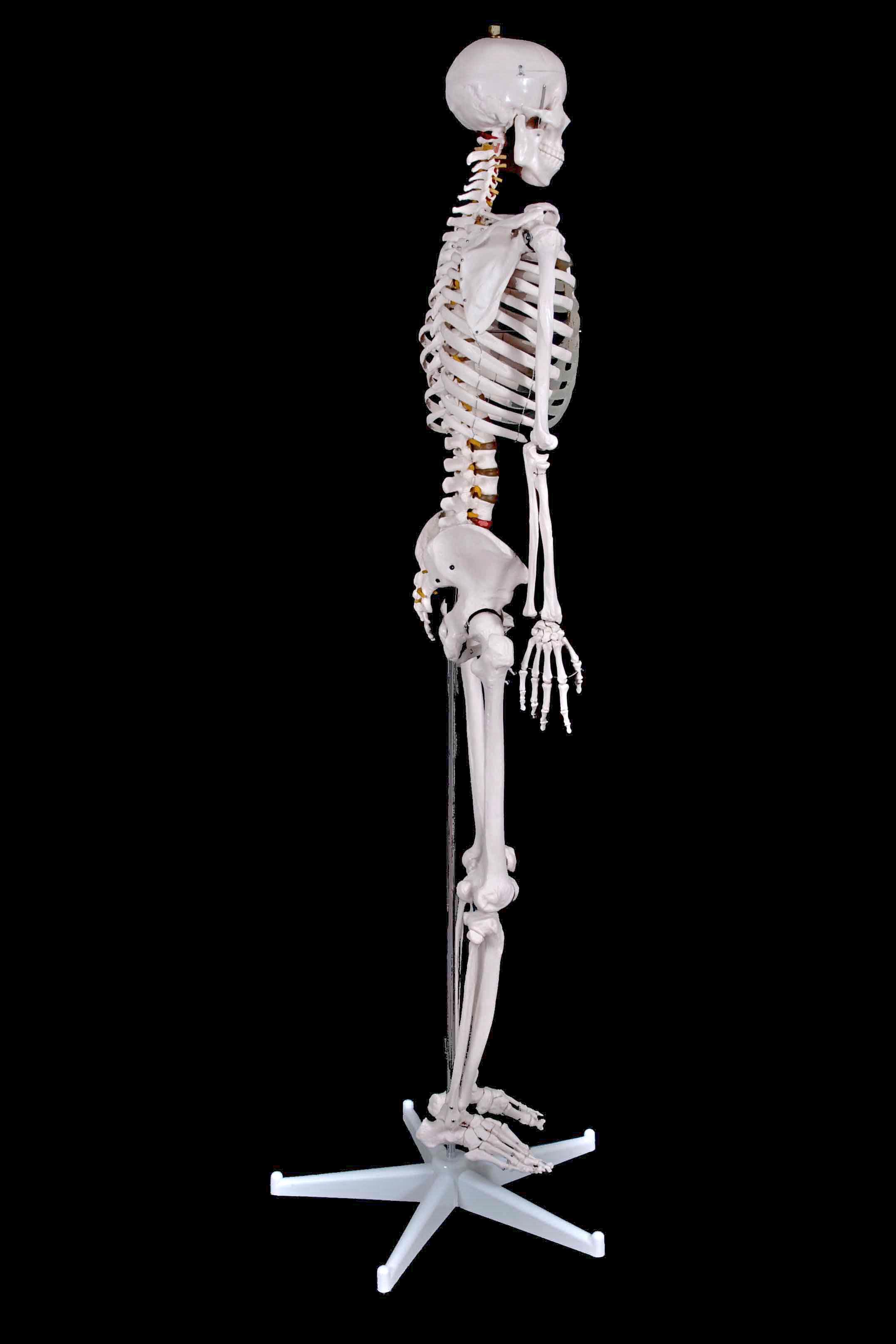 Human Skeleton 1.80 mtrs