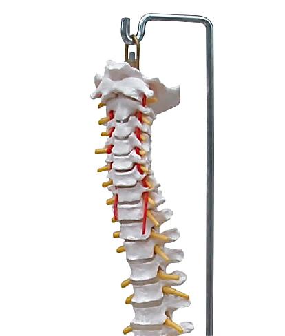 Human life size spine anatomic model