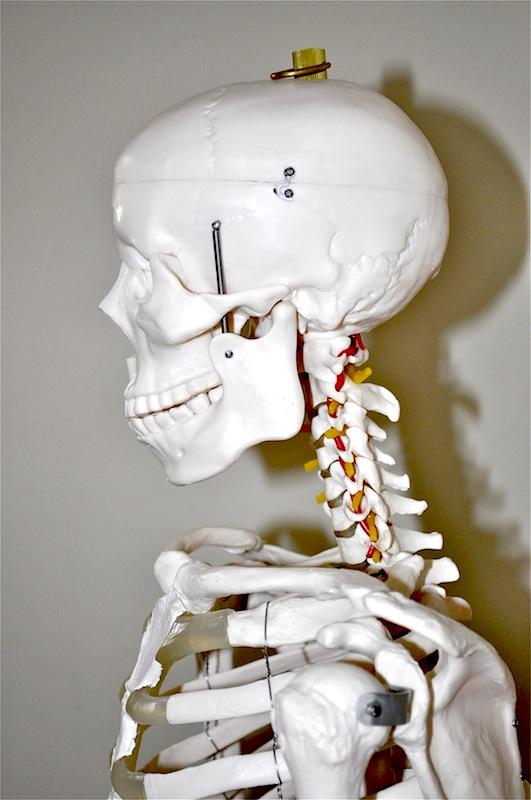 Human Skeleton 1.80 mtrs, skull detail