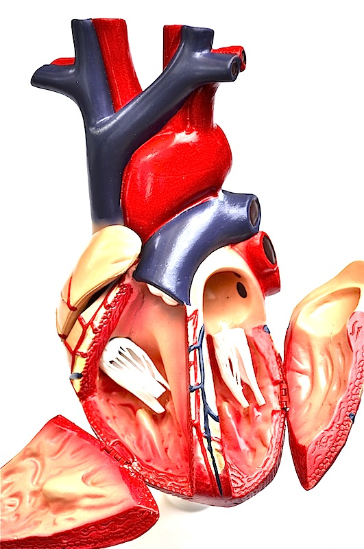 Heart Anatomic Model