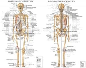 poster human skeleton large