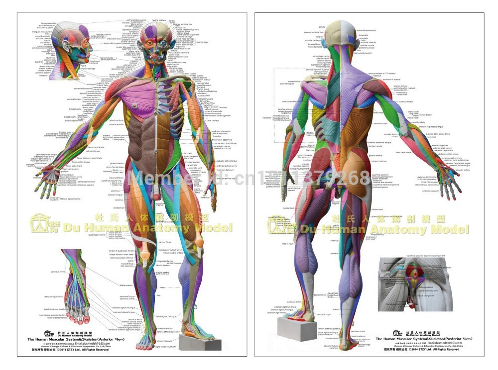 human anatomical chart muscular system, anatomy wall poster | the,
