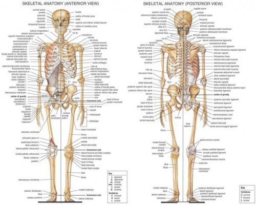 Skeletal_System__5695e8313e019