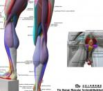human-anatomical-chart-muscular-system-anatomy-ecorche-wall-poster-1