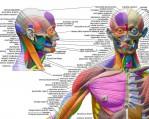 human-anatomical-chart-muscular-system-anatomy-ecorche-wall-poster-3