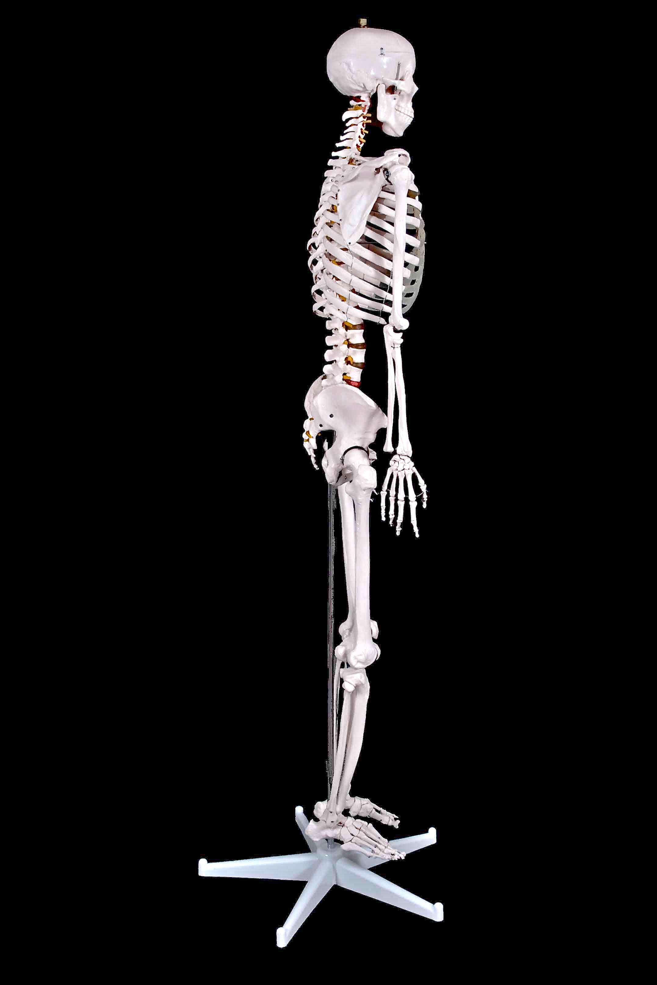 full length side Skeleton
