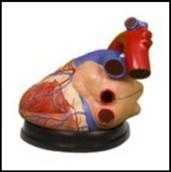 Heart Anatomic Model