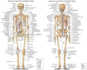 poster human skeleton large