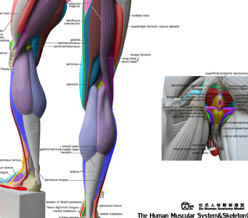 Human Anatomical Chart Muscular System Anatomy Wall Poster The