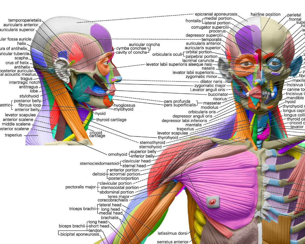 Human Anatomical Chart Muscular System Anatomy Wall Poster Sorry
