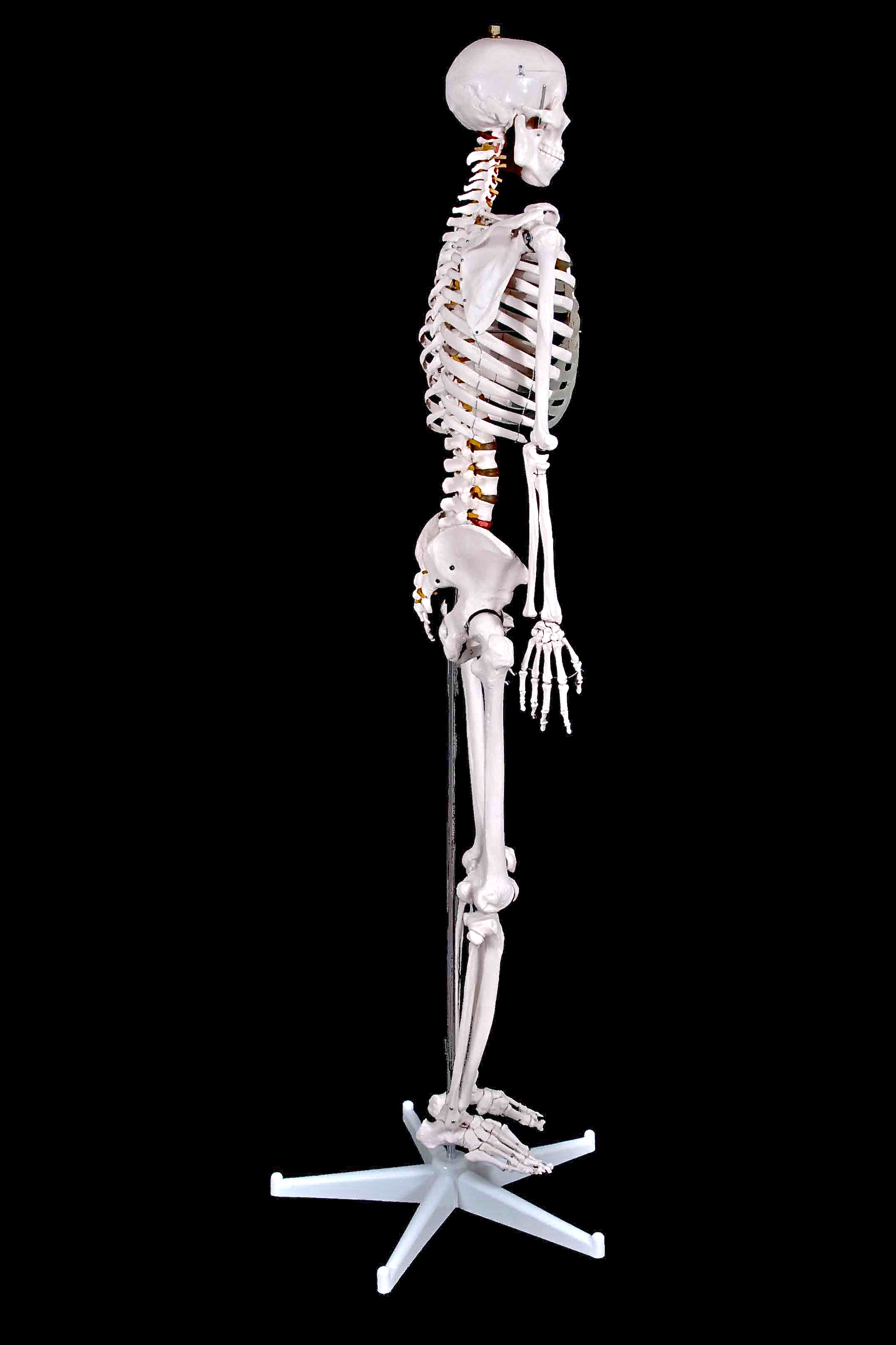 full length side Skeleton
