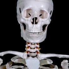 head of skeleton