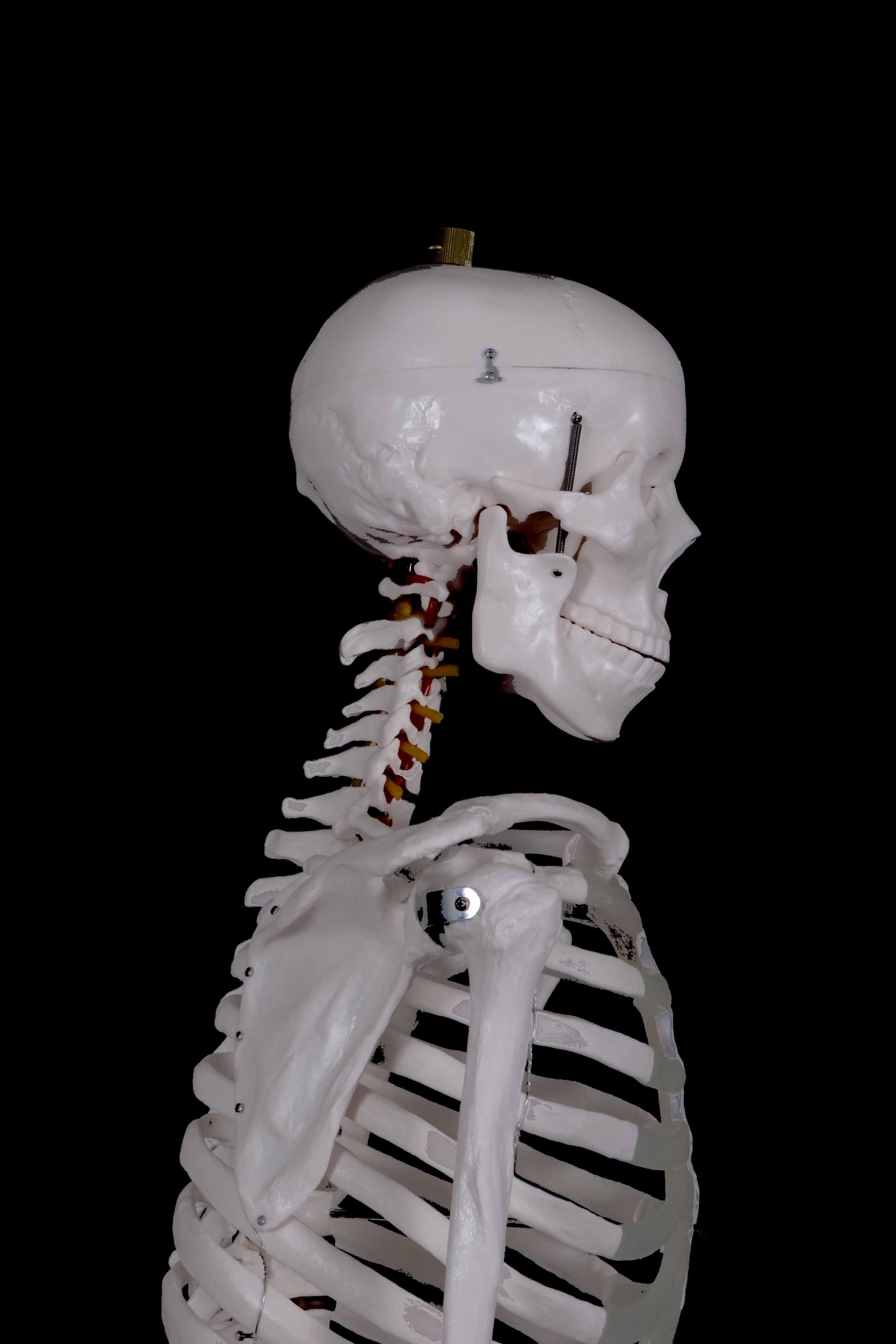 side of skeleton